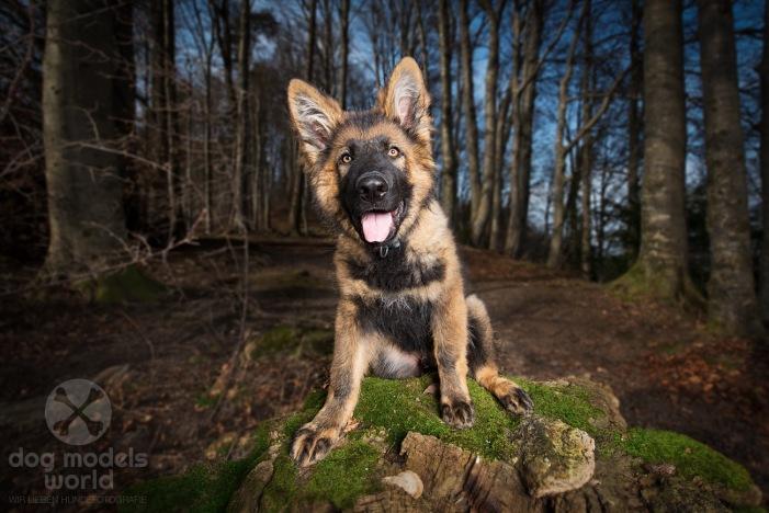 Flash - Altdeutscher Schäferhund. 14 Wochen alt.