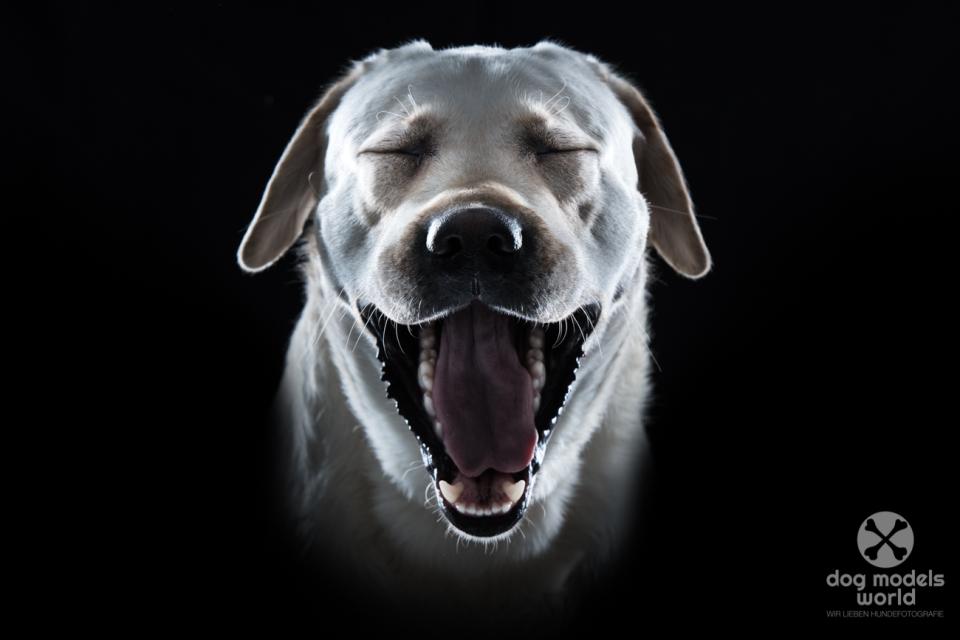 Labrador Michu im Fotostudio